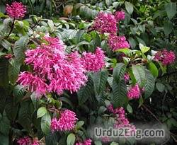 fuchsia Urdu Meaning