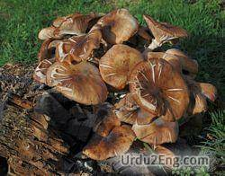 fungus Urdu Meaning