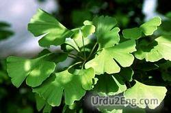 gingko Urdu Meaning