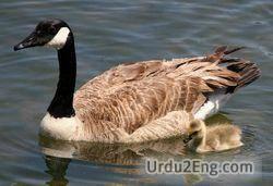 goose Urdu Meaning