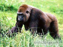 gorilla Urdu Meaning