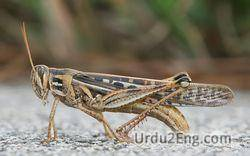 grasshopper Urdu Meaning
