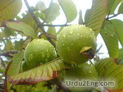 guava Urdu Meaning