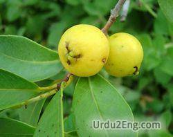 guava Urdu Meaning