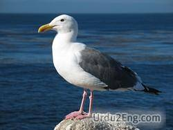 gull Urdu Meaning