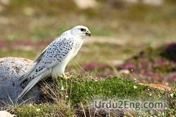 gyrfalcon Urdu Meaning