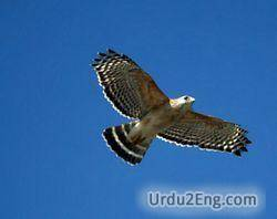 hawk Urdu Meaning