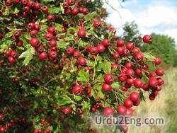 hawthorn Urdu Meaning