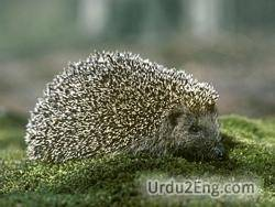 hedgehog Urdu Meaning