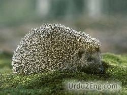 hedgehog Urdu Meaning