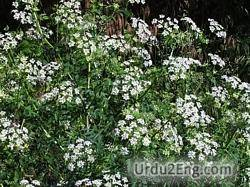 hemlock Urdu Meaning