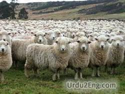 herd Urdu Meaning