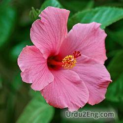 hibiscus Urdu Meaning
