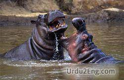 hippopotamus Urdu Meaning