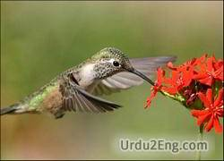 hummingbird Urdu Meaning