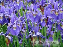 iris Urdu Meaning