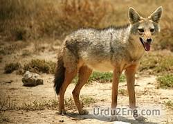 jackal Urdu Meaning
