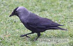 jackdaw Urdu Meaning