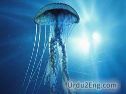 jellyfish Urdu Meaning
