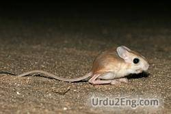 jerboa Urdu Meaning