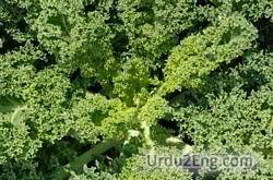 kale Urdu Meaning