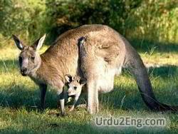 kangaroo Urdu Meaning