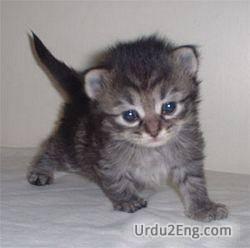 kitten Urdu Meaning