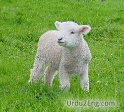 lamb Urdu Meaning