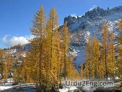 larch Urdu Meaning