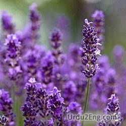 lavender Urdu Meaning