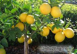 lemon Urdu Meaning