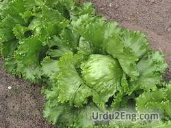 lettuce Urdu Meaning