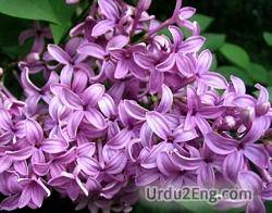 lilac Urdu Meaning