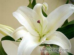 lily Urdu Meaning