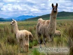 llama Urdu Meaning
