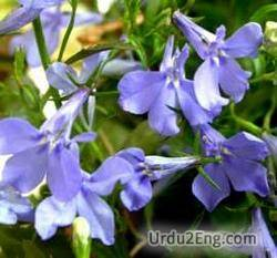 lobelia Urdu Meaning