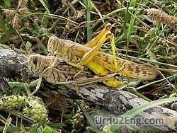 locust Urdu Meaning