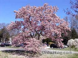 magnolia Urdu Meaning