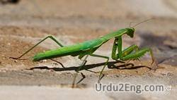 mantis Urdu Meaning