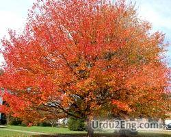 maple Urdu Meaning