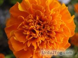 marigold Urdu Meaning