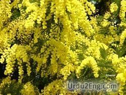 mimosa Urdu Meaning