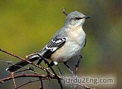 mockingbird Urdu Meaning
