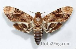 moth Urdu Meaning