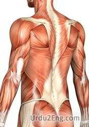 muscle Urdu Meaning