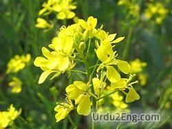 mustard Urdu Meaning
