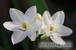 narcissus Urdu Meaning