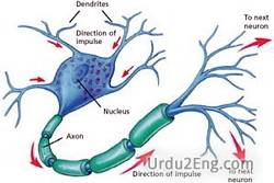 nerve Urdu Meaning