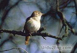 nightingale Urdu Meaning