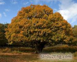 oak Urdu Meaning